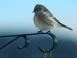 redpoll by LucieG-Stock