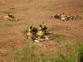 African Painted Dogs IV by Twister4evaSTOCK