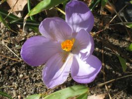 single crocus. by crazygardener