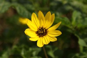 Black Eyed Susan by digitalcool1021