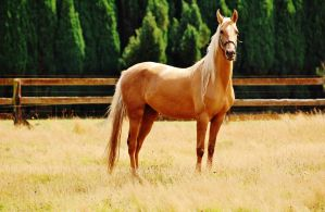 Palomino Saddlebred by JodieWPhotography