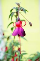 Fuscia by Solus-Photography