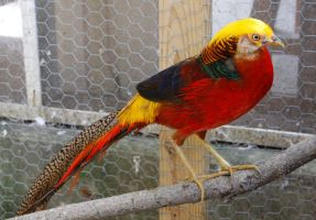 Red Gold Pheasant 6 by ravenofthenight