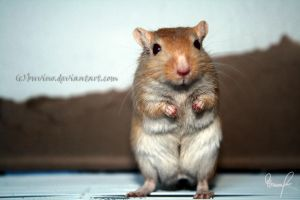 gerbil boy. by buvino