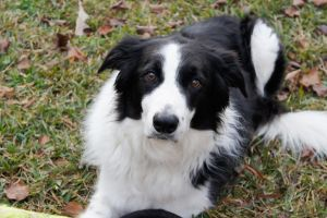 Border Collie II by LDFranklin