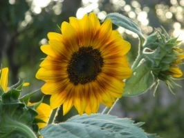 Sunflowerness by serenity600