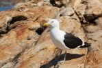 Curious Gull by MJWallace