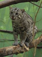 Fishing Cat 05 by animalphotos