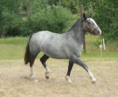 Blue Roan Stock 43 by tragedyseen