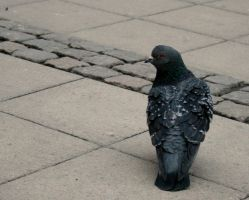 Pigeon 2 by Golden-Plated