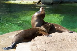 Two Californian Sea Lion pups by steppeland