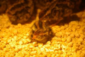 Quail chicks 2 by Silver-she-wolf-14