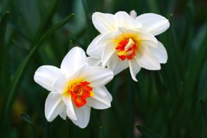 Narcissus in Color by organicvision