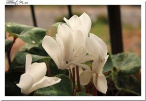 white Cyclamens by ShlomitMessica