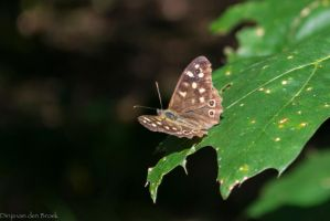 Brown butterfly by DinjaDONUT