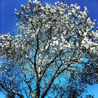 White Flowering Tree by marc-the-kid