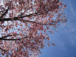 Under the Cherry Blossoms by theEmperorofShadows