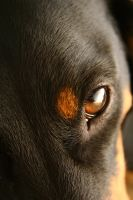 Eye of the dachshund by snoopa