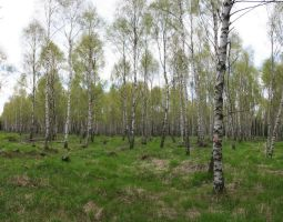 pano birch forest by two-ladies-stocks
