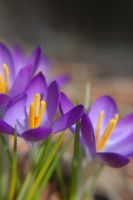 Crocus by prettyflour