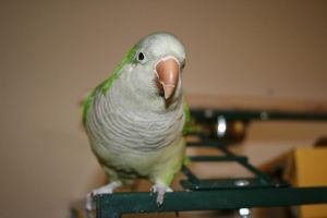 Quaker Parrot 1 by elf-fu-stock