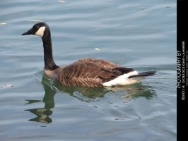 Goose on the Water by debzdezigns-lamb68