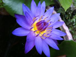 Lotus by johnnywu1017