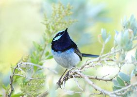 The Blue Wren by Whimsical-Dreams