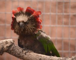 Parrot Mane by Canislupuscorax