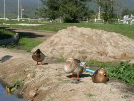 Ducks IV by ephedrina-stock