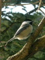 Chickadee Stock2 by D-is-for-Duck
