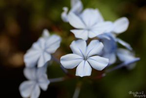 Plumbago Flowers by FortySixand2Photos