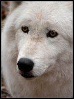 Arctic Wolf Face by nikkiburr