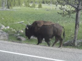 Bison Crossing by FallingWithoutStyle