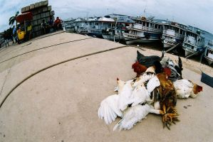brazil: chickens on the amazon by i-shadow