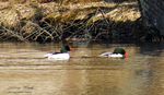 Male Mergansers by AWDesignsPhotography