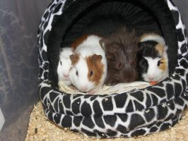 4 baby guinea pigs by MoNyOh