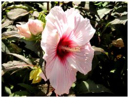 Pink Hibiscus 2 by superfrodo