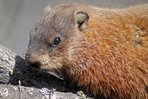 Groundhog 3 by LucieG-Stock