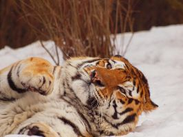 Tiger and Snow by psychostange