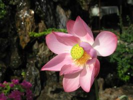 Lotus flower 1 by fa-stock