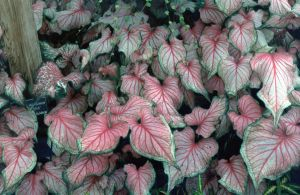 Caladium by Tailgun2009
