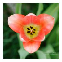 Pink Tulip Symmetry by Karl-B