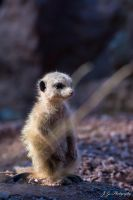 Meerkat cutie by lueap