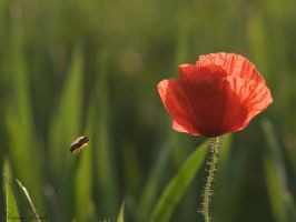 hello corn poppy by hanghuhn