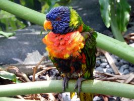 Lorikeet by ceemdee