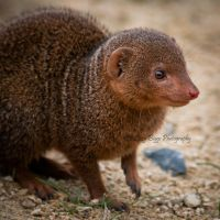 MONGOOSE! by ArtlessHmmmm