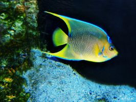 Queen Angelfish (Holacanthus ciliaris) by JuReam