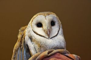 Common Barn Owl by pantsonnos