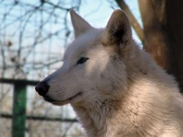 Thanksgiving 2010: Lakota 5 by FamilyCanidae